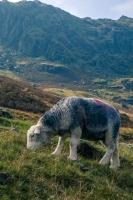 Sheep in Far Easedale