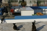 Hopeful cats wait on the dock by a Croatian small local fishing vessel with fisherman in his boat